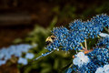 Bee in pollen a gathering a blue flower alabama Royalty Free Stock Photo