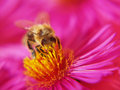 Bee with pollen legs full of on pink aster soft short depth of field Royalty Free Stock Photo