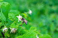 Bee pollinate on flower of raspberry nature background Stock Images