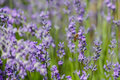 Bee pollinate lavender flowering sunny day Royalty Free Stock Photography