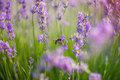 Bee pollinate lavender flowering sunny day Stock Photos
