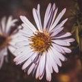 Bee pollinates flowers, macro photo Royalty Free Stock Photo