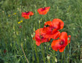 Bee pollinating bright red poppy fllower in field Royalty Free Stock Photo