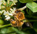 Bee pollinating clover Royalty Free Stock Photos