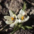Bee pollinating the early spring flowers - white crocus. Two crocuses with a pair worker honey bees feeding on nectar, macro Royalty Free Stock Photo
