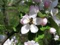 Bee pollinating a flower spring garden Royalty Free Stock Photos