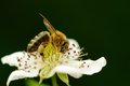 Bee pollinating flower a a white against a dark green background Royalty Free Stock Photos