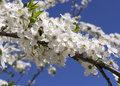 Bee pollinating flowering tree collects pollen from a Stock Images