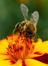 Bee Pollinating Marigold Flowe...