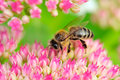 Bee Pollinating Pink Sedum Flowers Royalty Free Stock Photo