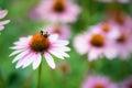 Bee Pollinating Purple Coneflower on Sunny Summer Day