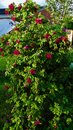 Bee pollinating Sweet Briar Rose, Rosa rubiginosa Royalty Free Stock Photo