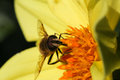 Bee Pollinating Yellow Dahlia Flower Dark Background Royalty Free Stock Photo