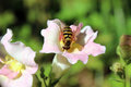 Bee pollination snapdragon light pink flower close Royalty Free Stock Photos