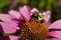 Bee profile on Echinacea flow close cup Royalty Free Stock Photo
