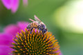 Bee purple cone flower Royalty Free Stock Photo