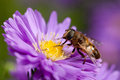 Bee on purple flower feeding Stock Image