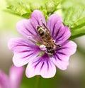 Bee on a purple flower. macro Royalty Free Stock Photo