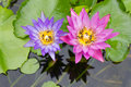 Bee on a purple and pink lotus. Royalty Free Stock Images