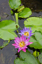 Bee on a purple and pink lotus. Royalty Free Stock Photo