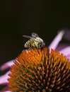 Bee on Quills of Echinacea Flower Royalty Free Stock Photo