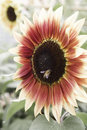 Bee on rare color sunflowers closeups Royalty Free Stock Photo