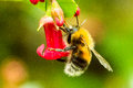 Bee on a red flower hanging to enjoying the pollen Royalty Free Stock Photos