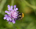 Photo : Bee on Scabious Flower a  field