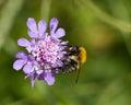 Picture : Bee on Scabious Flower devils-bit field