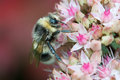 Bee on sedum flowers Royalty Free Stock Photo