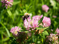 Bee sitting on a blooming clover Royalty Free Stock Photo
