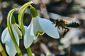 A bee on a snowdrop in spring or galantus is the first flower blossoming early for this reason almost Stock Photo