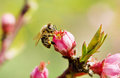 Bee on a spring pink flower Royalty Free Stock Photo