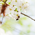 Bee on spring white blossoms honey collect nectar from blossoming tree Stock Photos