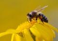 Bee sucking nectar Stock Photos