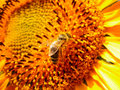 Bee sunfire Stock Photos