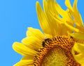 Bee on the Sunflower Stock Images