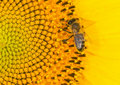 Bee and sunflower Stock Photos