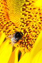 Bee on a sunflower Stock Image