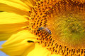 Bee on sunflower Royalty Free Stock Images