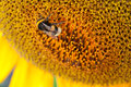 Bee on sunflower close up of a Stock Photos