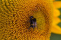 Bee on sunflower a close up image of a feeding the nectar of a bloom Royalty Free Stock Photography