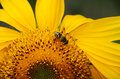 Bee on sunflower closeup of collecting pollen a Stock Photos