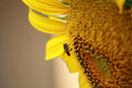 Bee and sunflower closeup in nature Royalty Free Stock Images