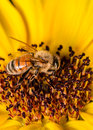 Bee on a sunflower collecting pollen from Royalty Free Stock Image