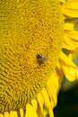Bee on a sunflower collecting pollen Stock Image
