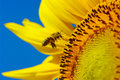 Bee in the sunflower collects pollen Stock Photos