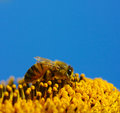 Bee in the sunflower collects pollen Royalty Free Stock Photos