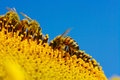 Bee in the sunflower collects pollen Royalty Free Stock Image
