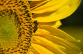 Bee on sunflower landed a polinating Royalty Free Stock Image